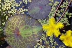 Nymphoides crenata - variegata