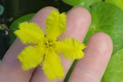 Nymphoides montana highland form flower